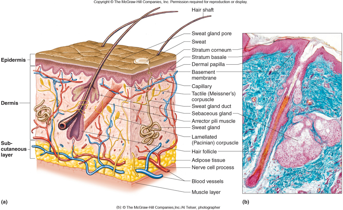 Chapter 6 Integumentary System - Science Mr. LeFave